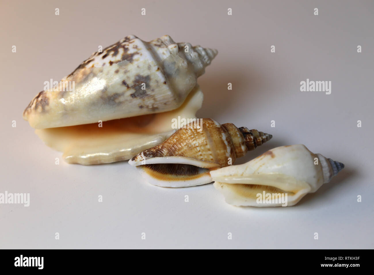 Still life photo of beautiful sea mollusk shells on a white table. Lovely souvenirs from a vacation by the sea. Macro image with colors. - Stock Image
