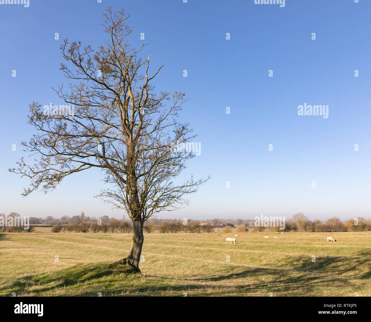 Willoughby, Warwickshire / UK - Feb 26 2019: Lone tree stands in a ridge and furrow field containing grazing sheep. The sky is blue and cloudless. - Stock Image