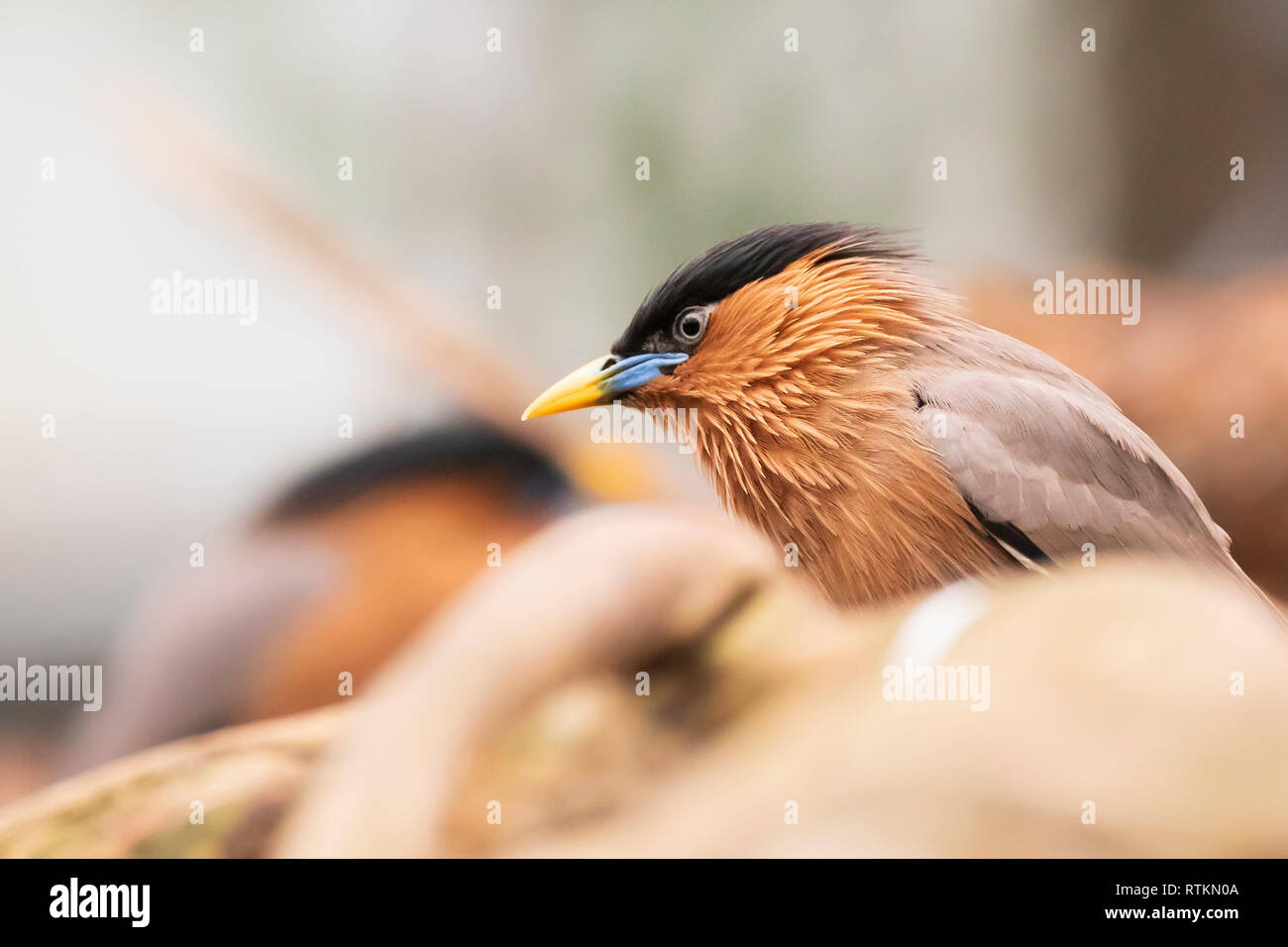 The brahminy myna or starling Sturnia pagodarum is a resident breeder in Nepal and India, a winter visitor to Sri Lanka and a summer visitor in the we - Stock Image