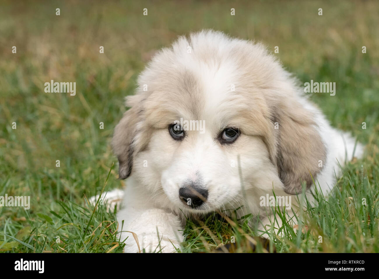 Issaquah, Washington, USA.  Ten week old Great Pyrenees puppy reclining in the grass.  (PR) - Stock Image