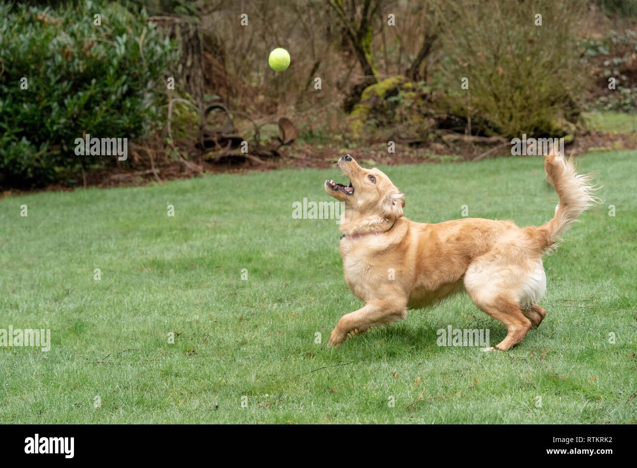 Issaquah, Washington, USA.  Nine month old Golden Retriever 'Aspen' trying to catch a ball that has been thrown.  (PR) - Stock Image
