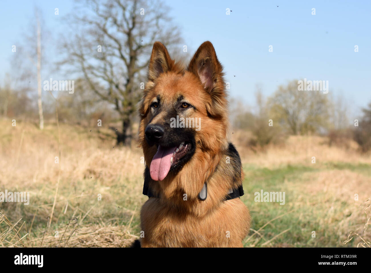 Young Old (Longhaired) German Shepherd lies on meadow in sunny day. Stock Photo