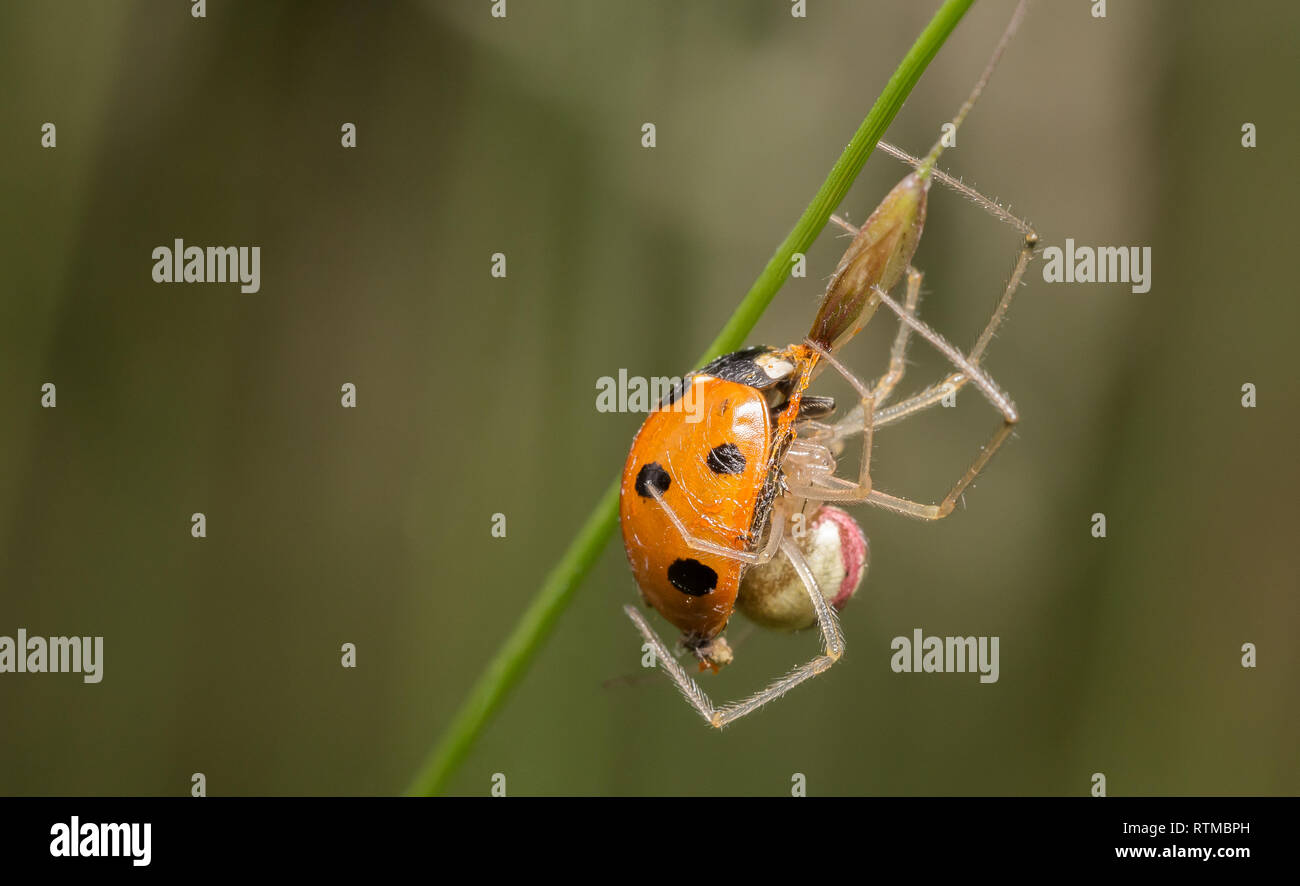Comb-footed spider eating the insides out of a ladybird - Stock Image
