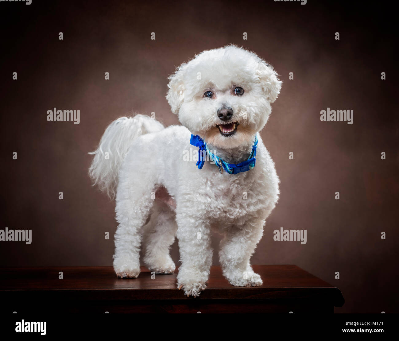Horizontal shot of a white fluffy Bichon Frise dog with a