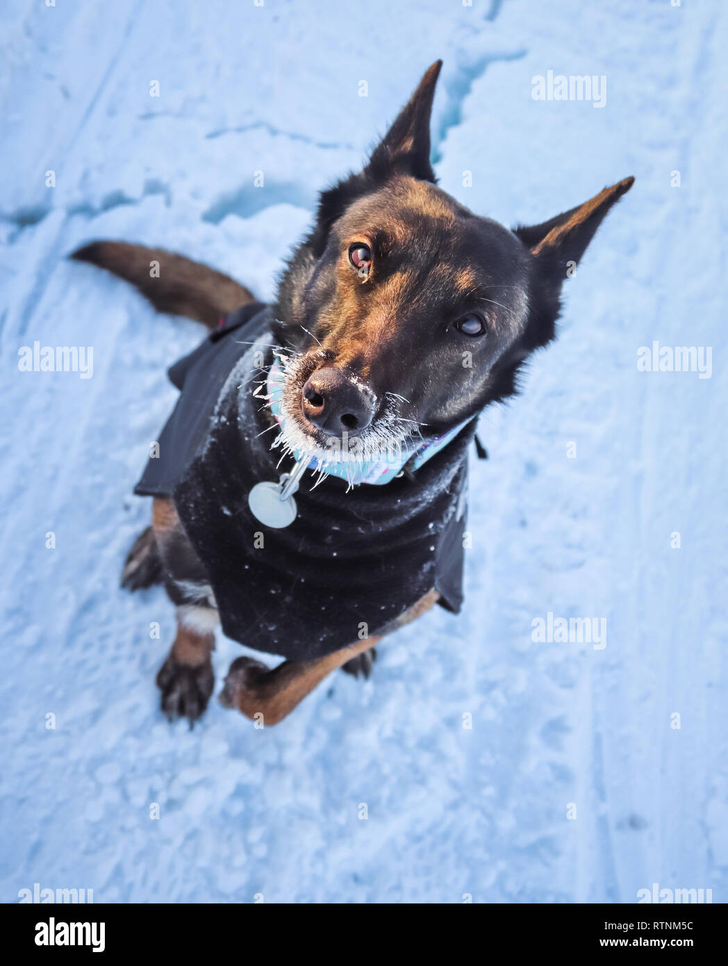 Belgian Malinois with a snow beard as he walks over the Arctic ice - Stock Image