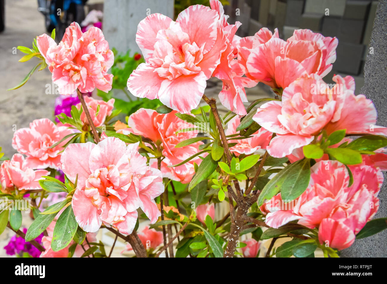 Carnation Or Clove Pink Or Dianthus Caryophyllus It Is An