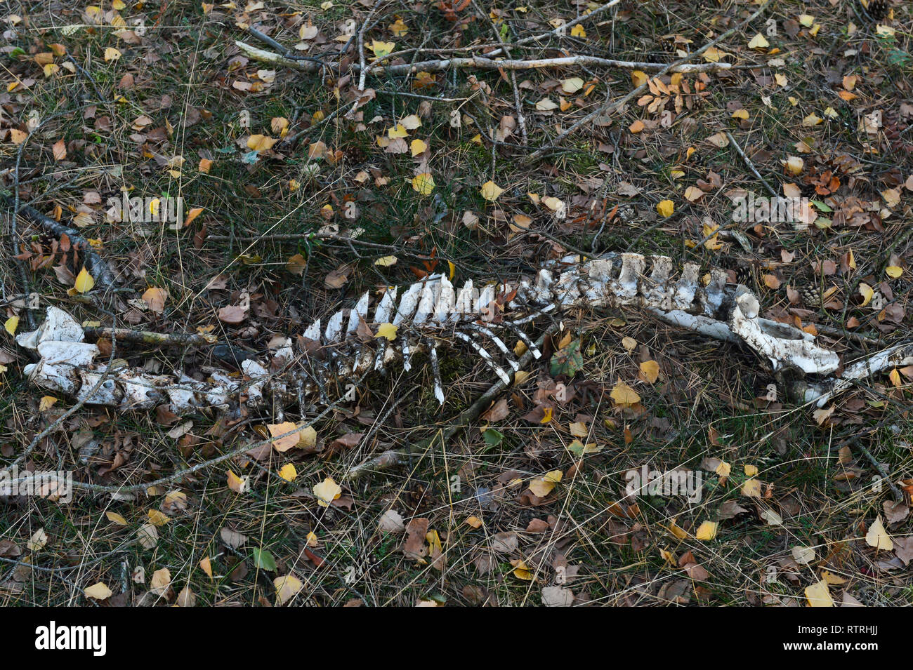 Dead Animal Backbone - Stock Image