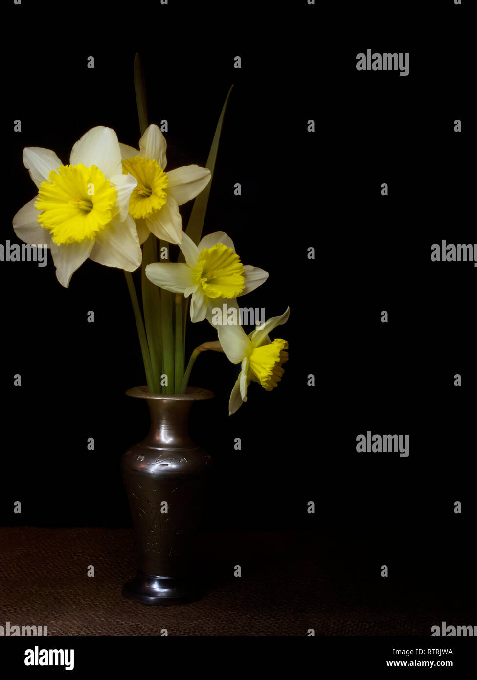 Spring daffodils still life, light painting chiaroscuro style, in vase, with copyspace. - Stock Image