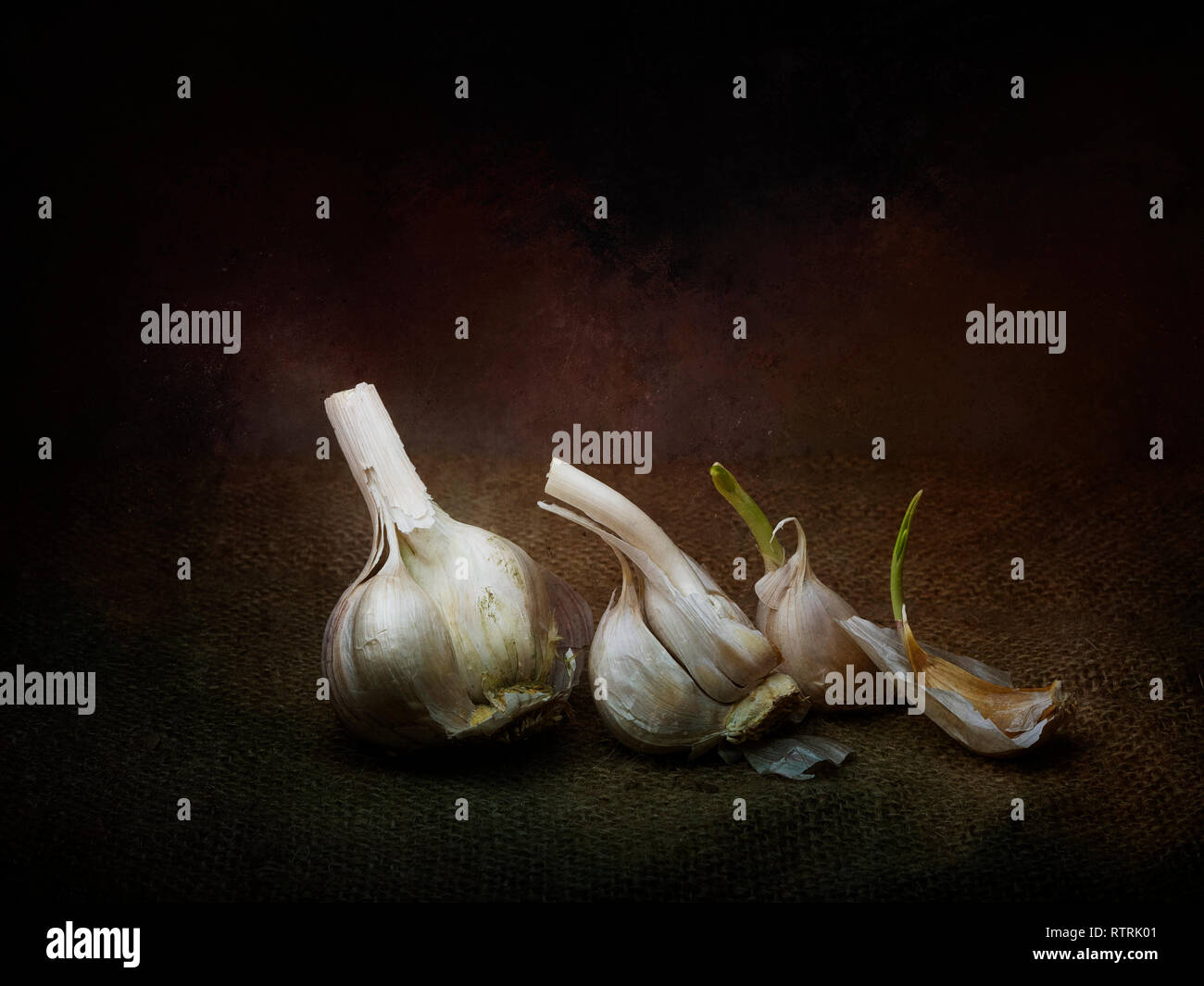 Garlic still life arrangement. Sprouting. Chiaroscuro style light painting with texture. - Stock Image