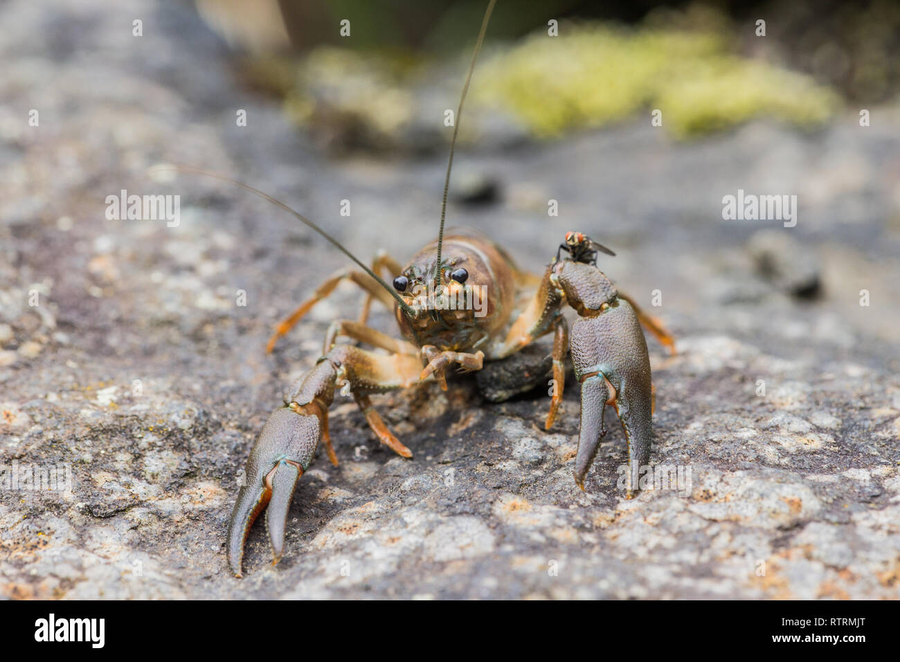 A signal crayfish (Pacifastacus leniusculus) an Introduced species in Europe - Stock Image