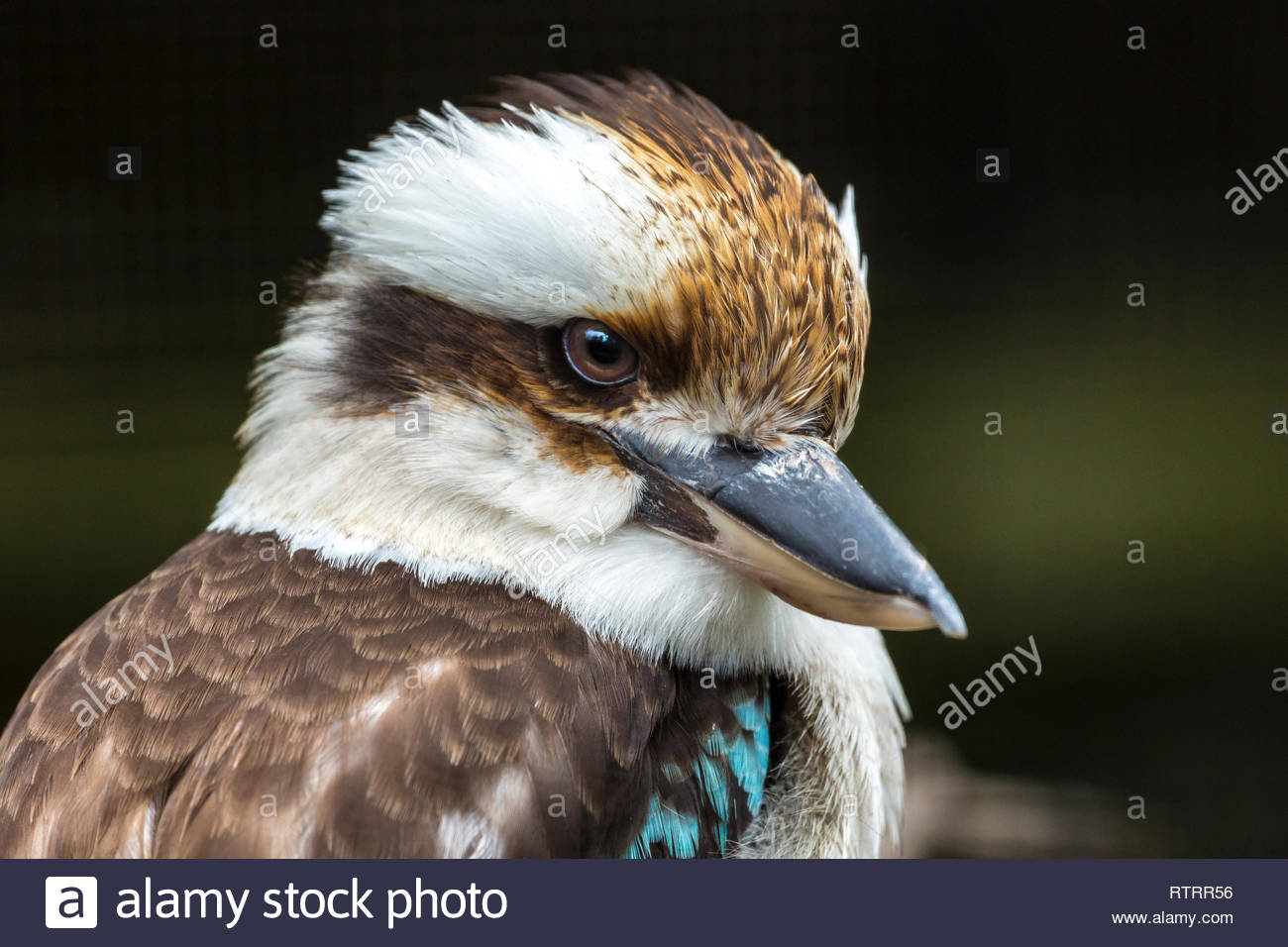 The Laughing Kookaburra, unlike the European kingfisher, is very bold in human society and can become a nuisance. - Stock Image