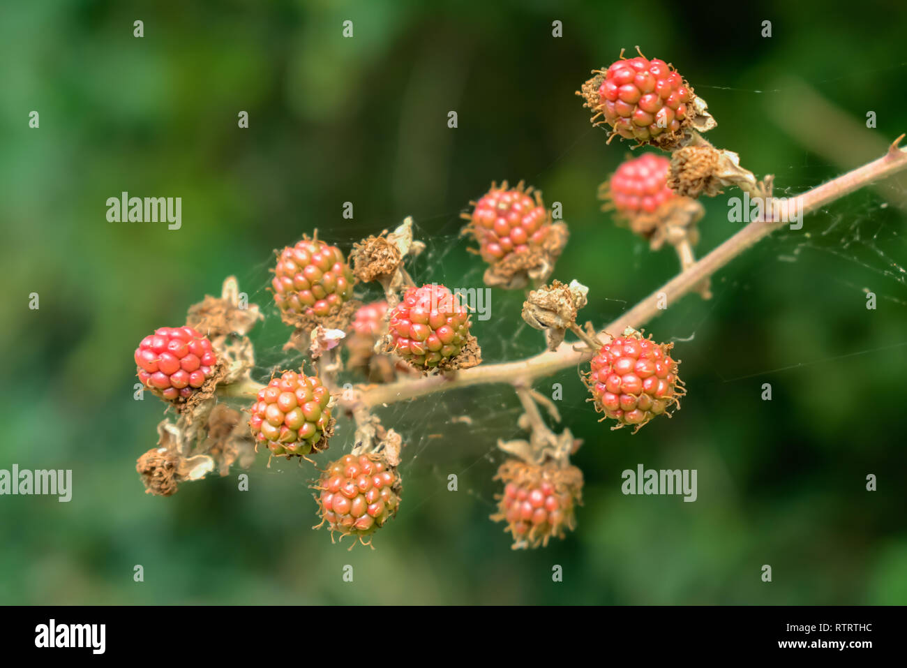 Nature and environment concept: Twig of immature blackberries on a green blurred background. - Stock Image