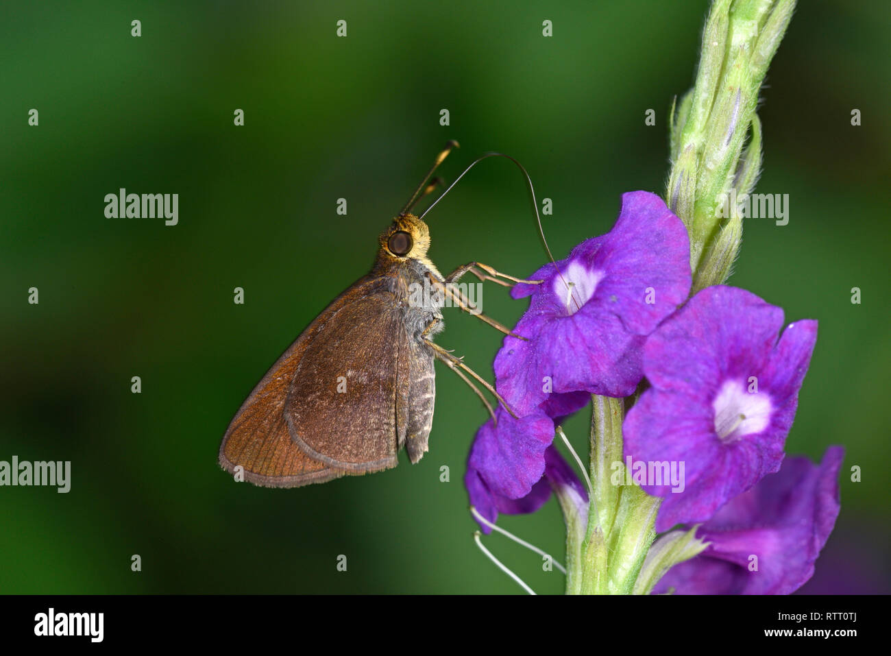 Rainforest Faceted Skipper Butterfly (Synapte silius) adult feeding in purple flower, Soberania National Park, Panama, October Stock Photo