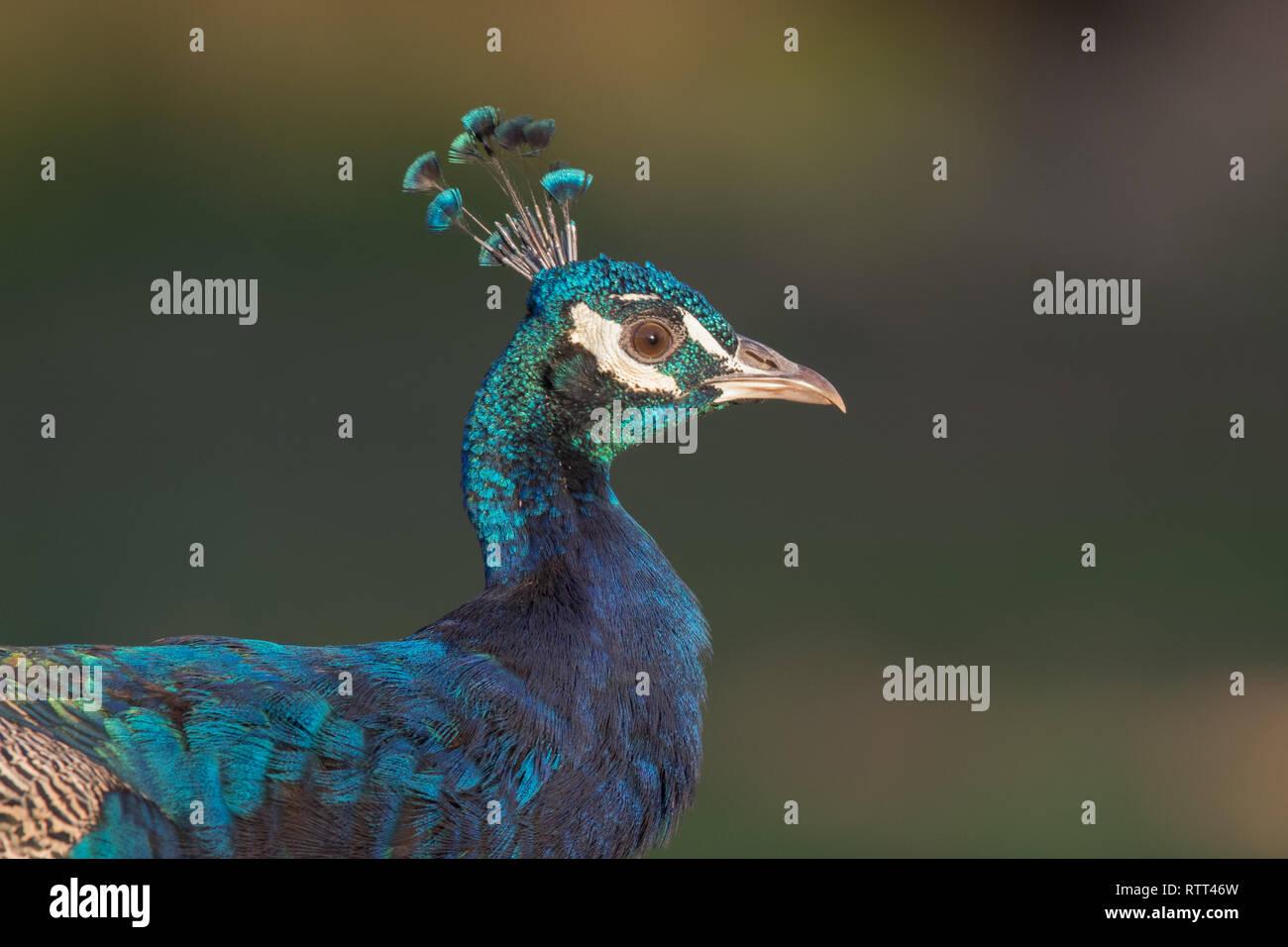 Blue peafowl (Pavo cristatus) - Stock Image
