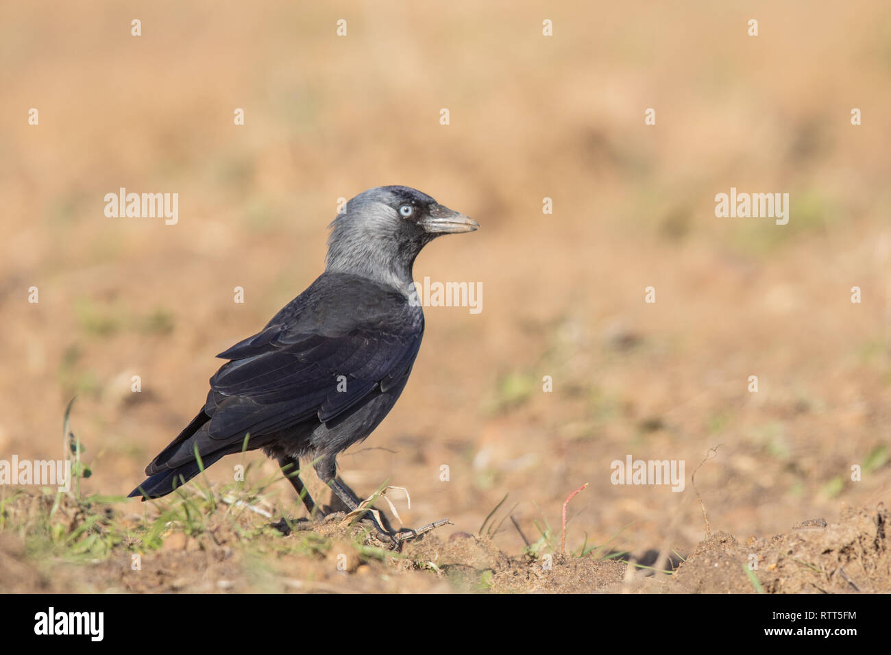 A western jackdaw (Coloeus monedula) at the Algrave - Stock Image