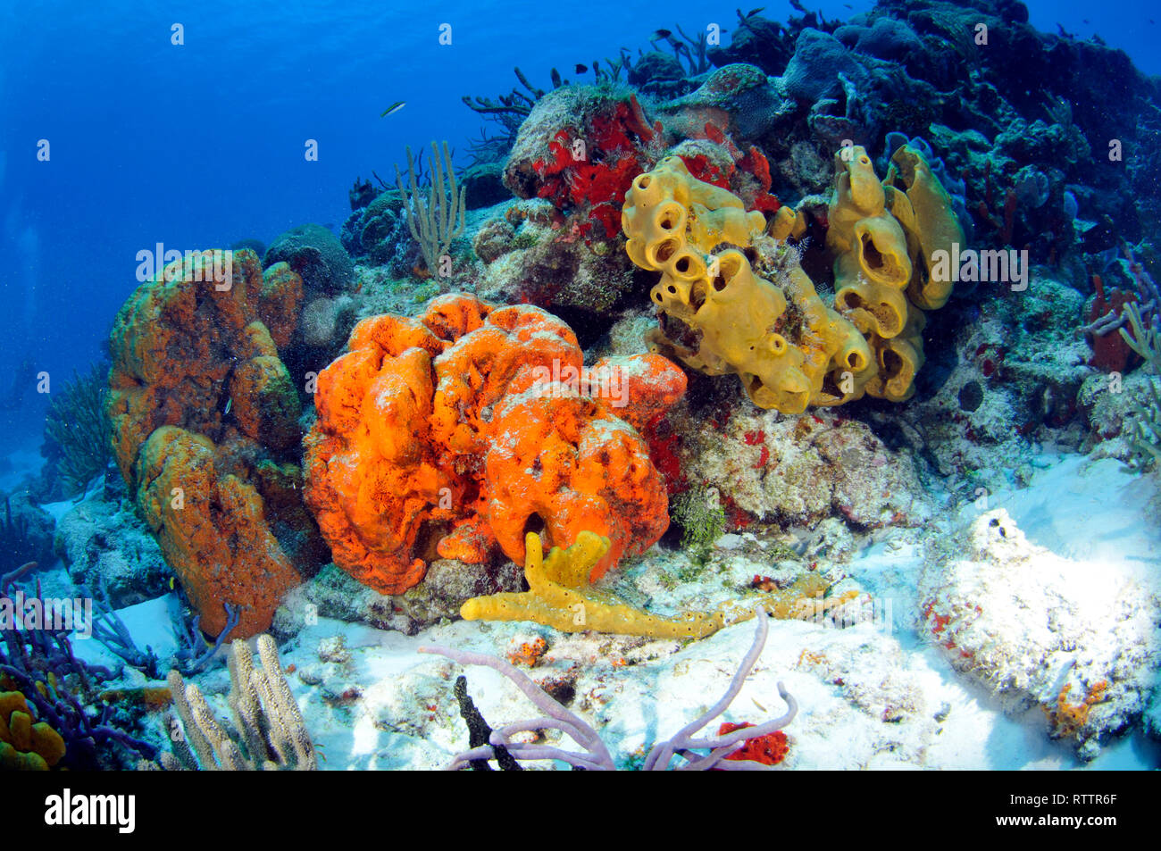 Colorful coral reefs and sponges, Cozumel,  Quintana-Roo, Mexico, Caribbean Sea - Stock Image