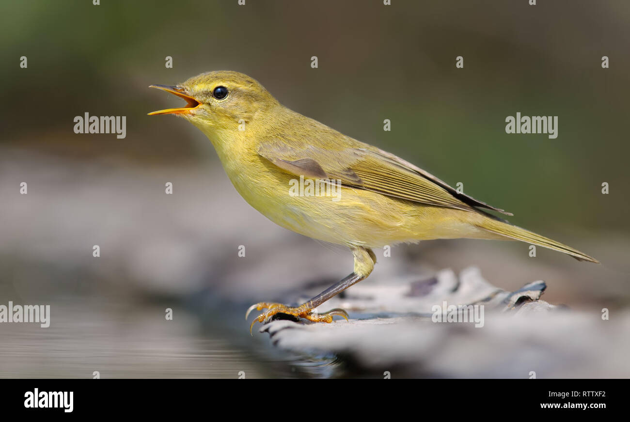 Willow warbler crying loudly near a waterpond - Stock Image
