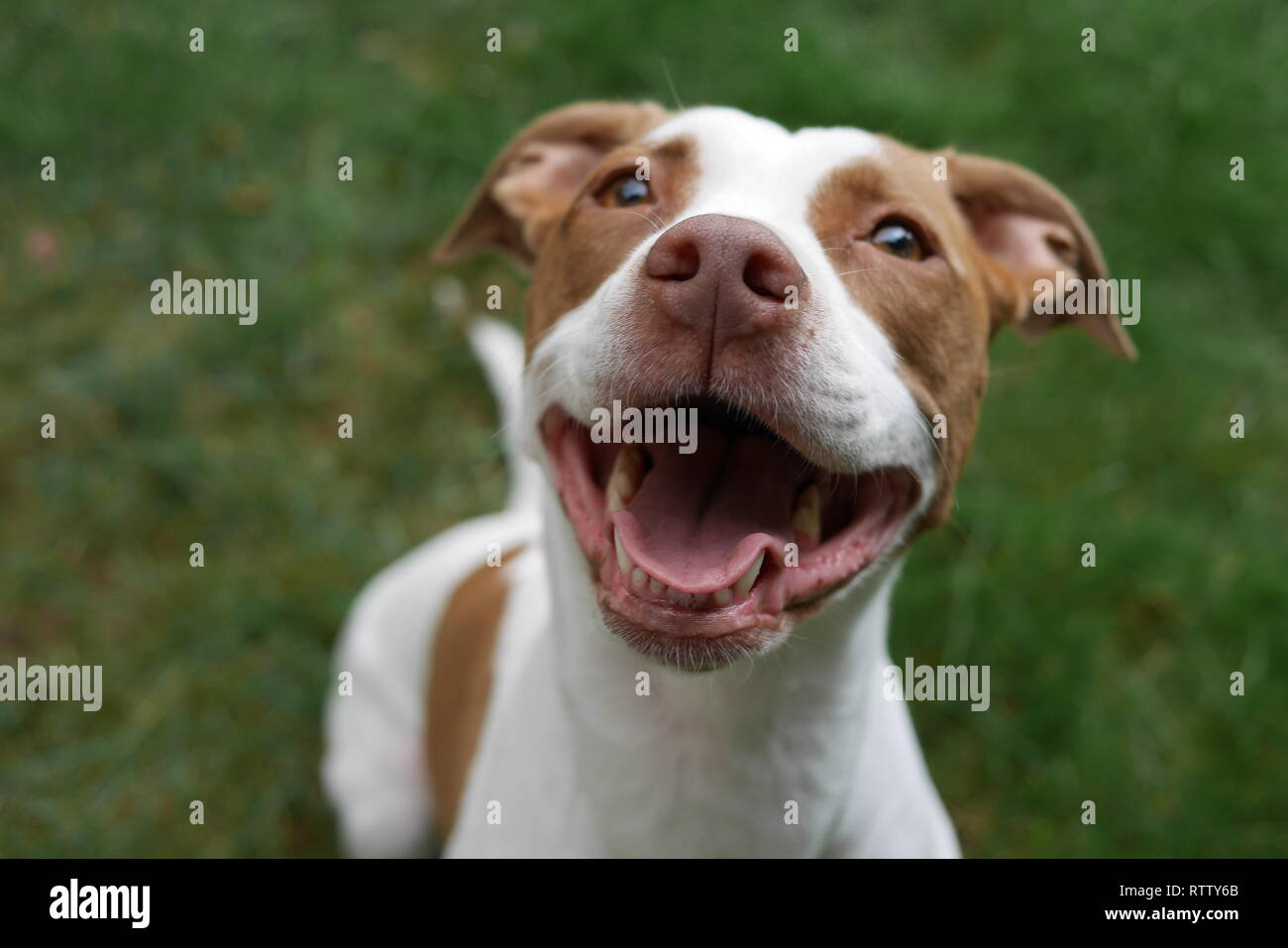 Smiling Pit Bull Mix Puppy - Happy Dog - Stock Image