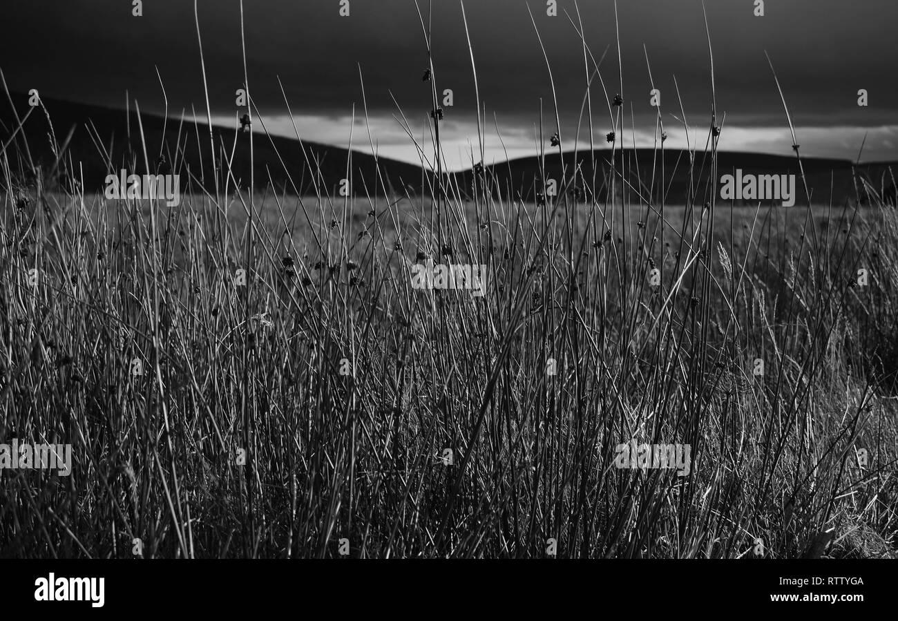 Reed Grass Landscape Scottish Highlands - Stock Image