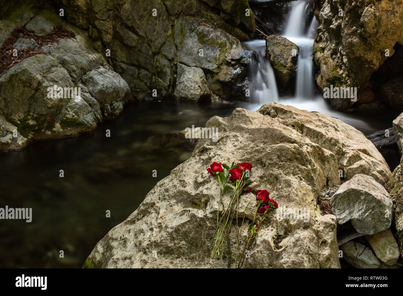 A waterfall in Limekiln State park, Big Sur with red roses in the foreground placed on rock in front of waterfall, long exposure to smooth out the wat Stock Photo
