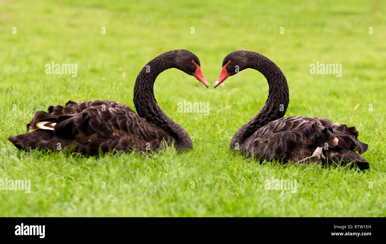 Swans making a heart shape with their necks Stock Photo