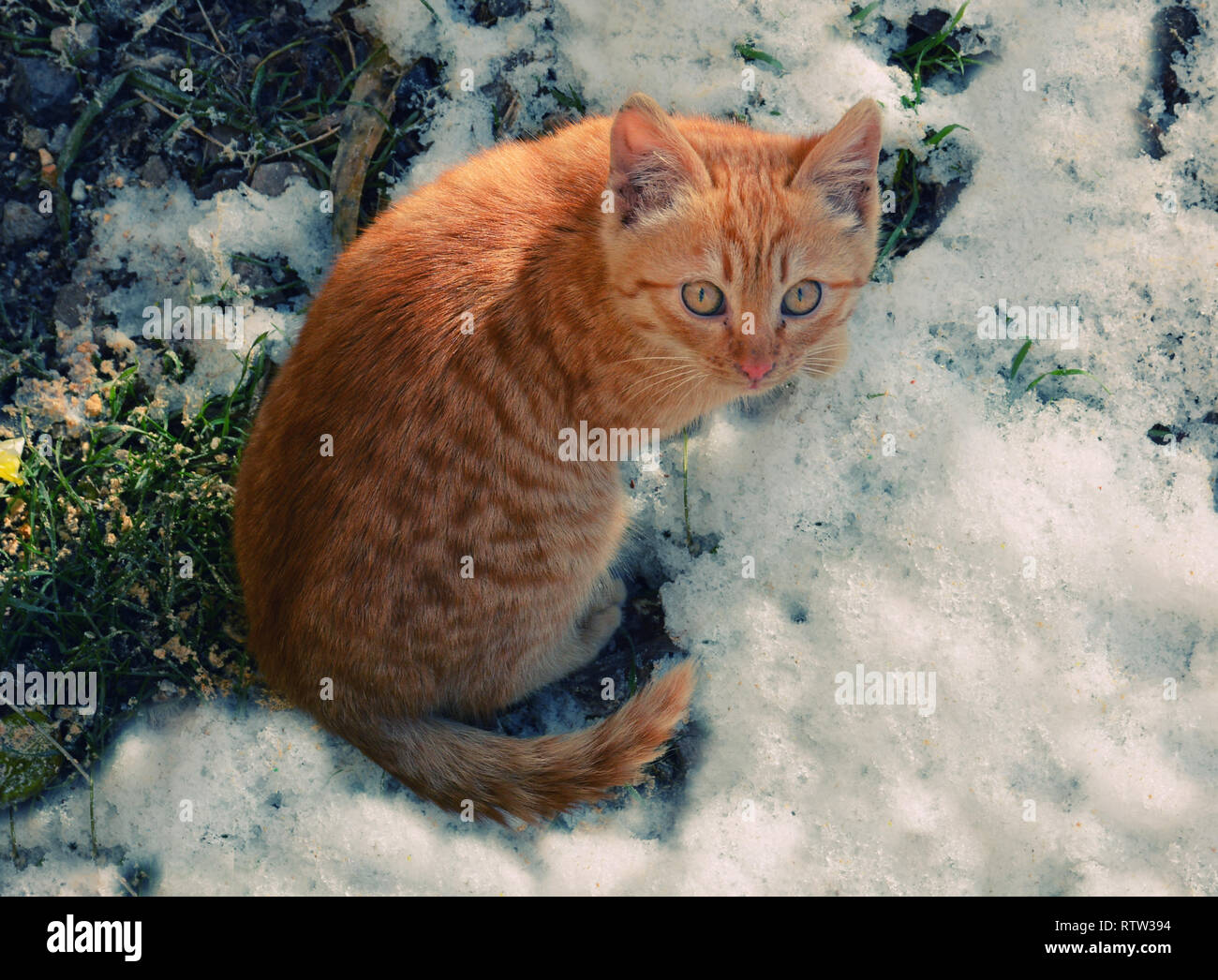 A beautiful bright red cat with yellow eyes and pink nose. Cat on the snow. Yellow and white cat with yellow eyes. - Stock Image