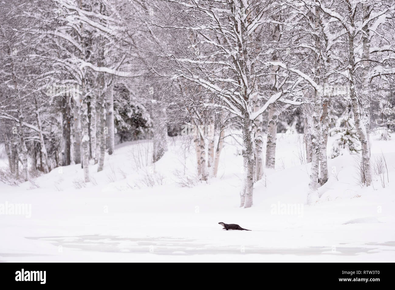 European river otter in a winter landscape with snow on a frozen lake with birch trees covered in snow - Stock Image