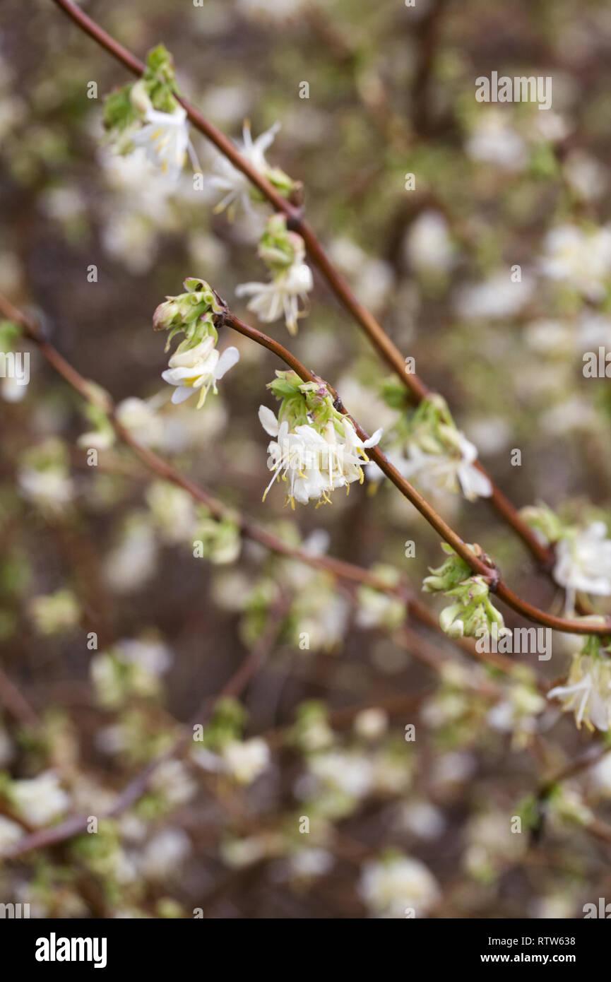 Lonicera standishii. Winter-flowering honeysuckle. - Stock Image