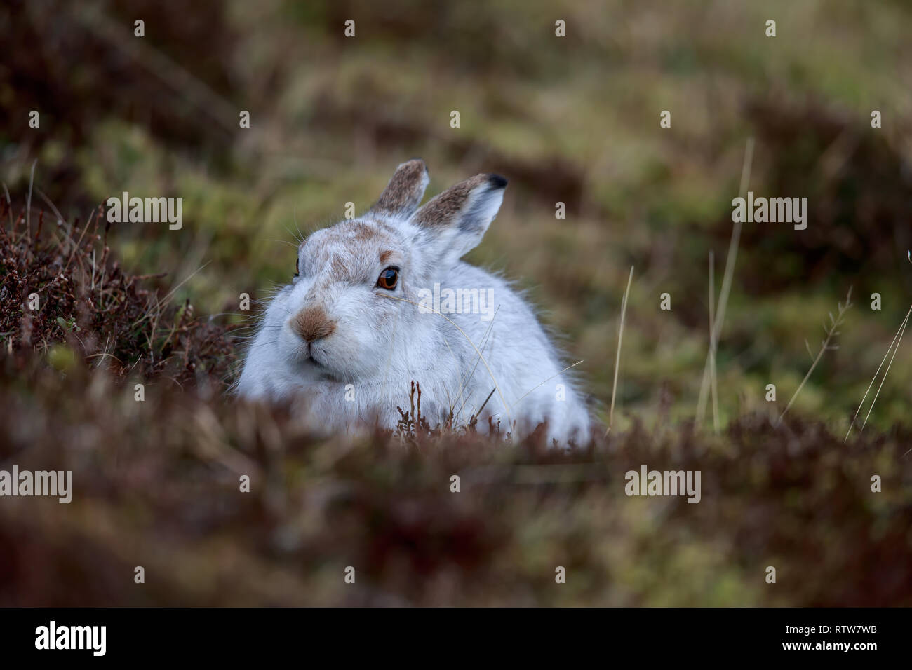 The mountain hare, also known as white hare, snow hare, alpine hare, is a Palearctic hare that is largely adapted to polar and mountains - Stock Image