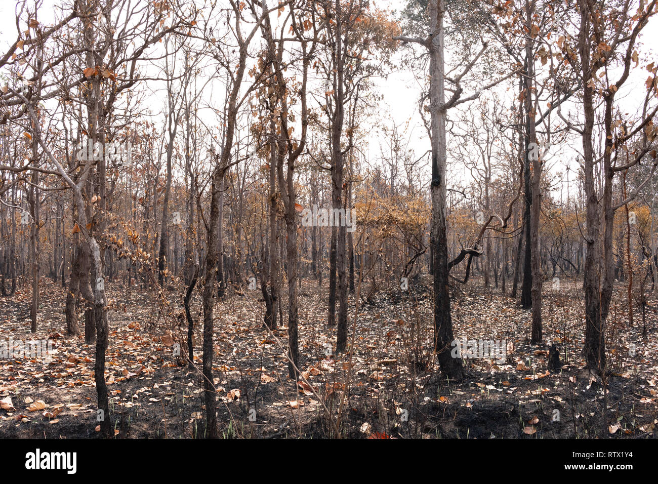 An area of forest that has been burnt by a forest fire - Stock Image