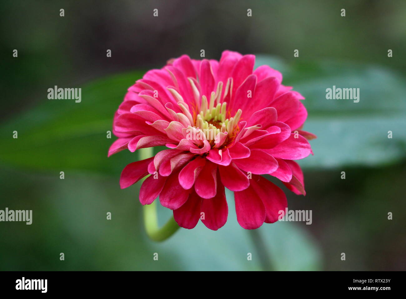 Amazing multi layered Zinnia flower with fully open blooming layered pink petals with white center surrounded with green leaves in local garden - Stock Image