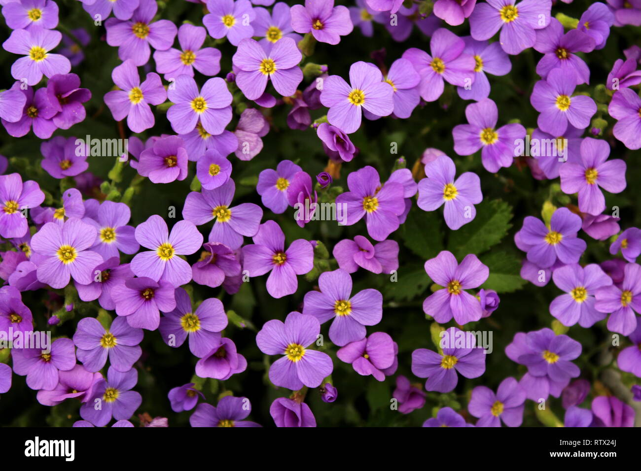 Aubretia Or Aubrieta Low Spreading Hardy Evergreen Perennial