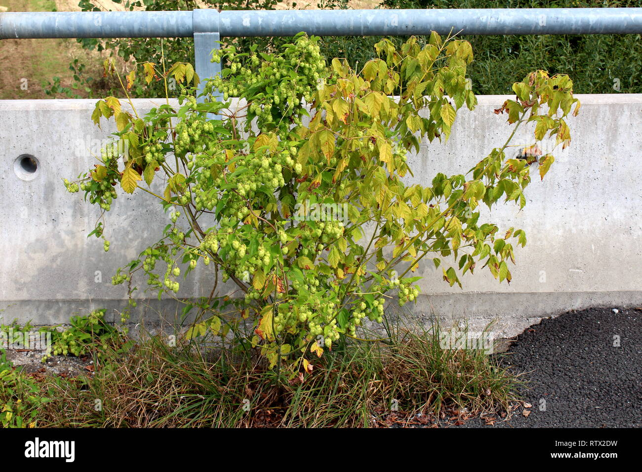Common hop or Humulus lupulus or Hops dioecious perennial herbaceous climbing flowering bine plant growing in form of small bush next to concrete road - Stock Image