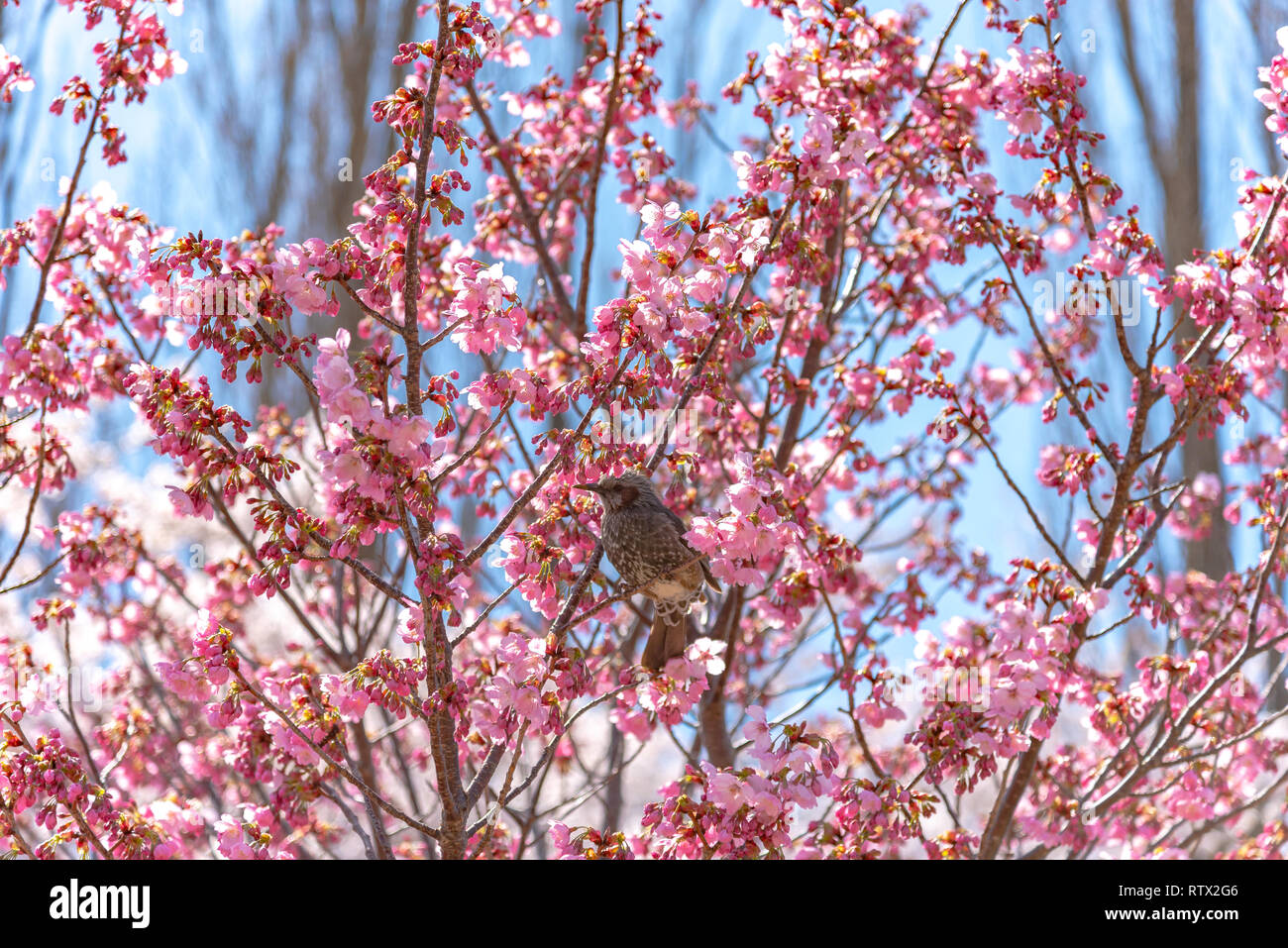 Cherry Blossoms And Bird And Japan Stock Photos & Cherry ... - photo#39
