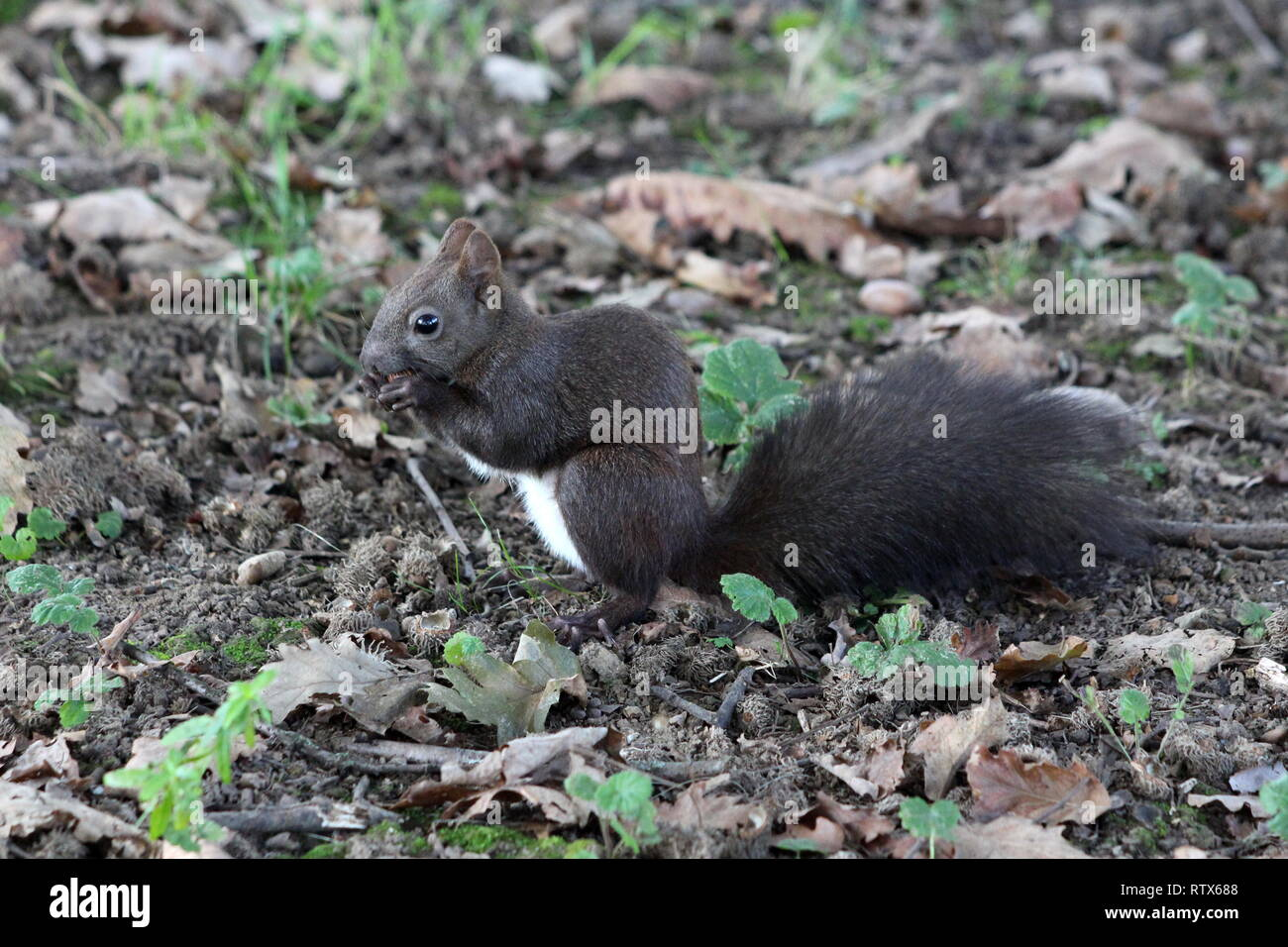 Small grey squirrel with beautiful hairy tail sitting calmly and eating nut surrounded with fallen leaves in local park on warm sunny day - Stock Image