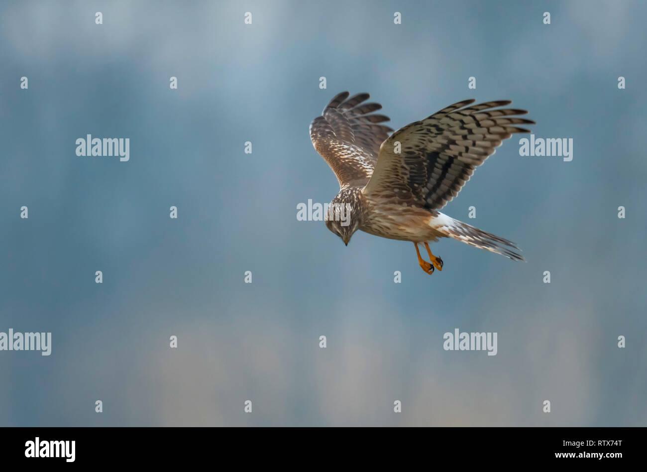 Hen Harrier Stock Photos & Hen Harrier Stock Images - Alamy