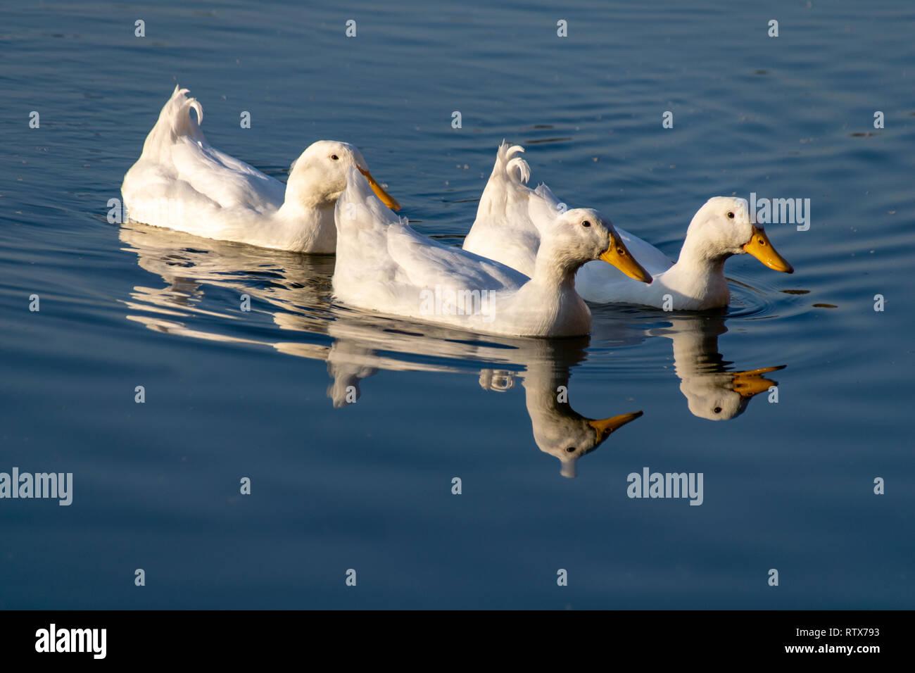 American pekin white ducks swimming across a still lake at sunset Stock Photo
