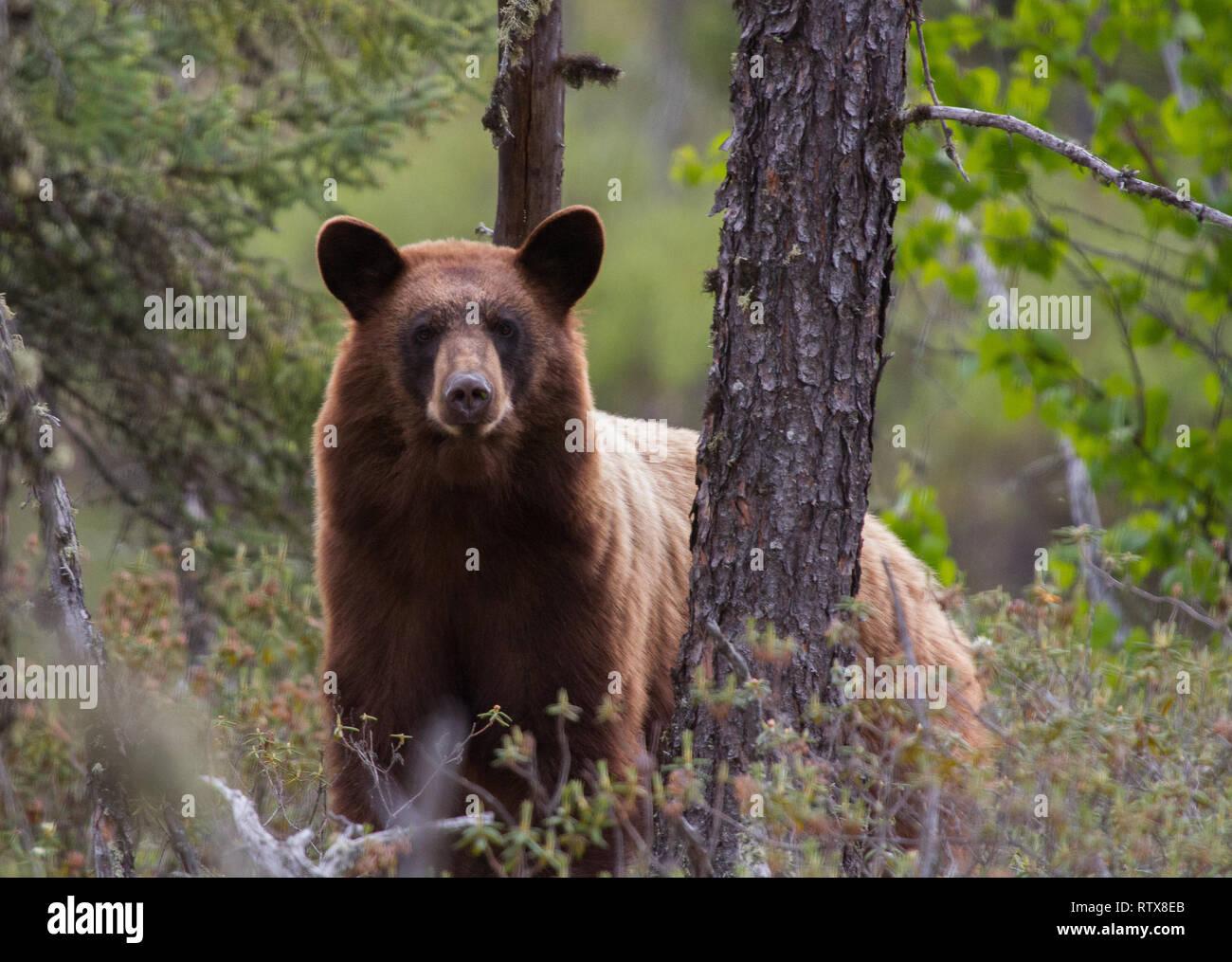 A black bear at home in northern Saskatchewan, Canada Stock Photo