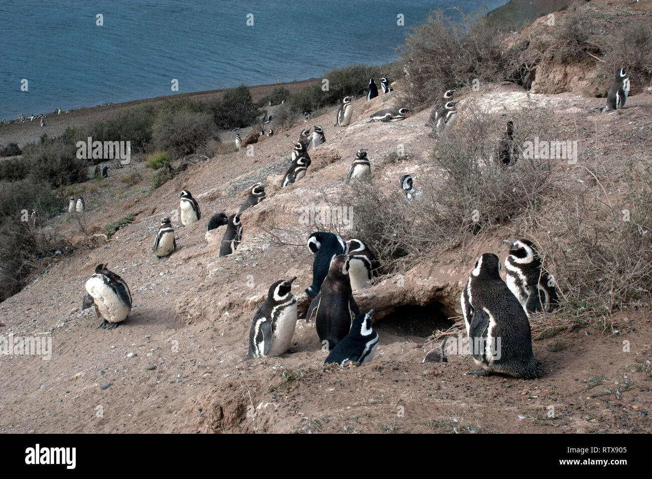 Magellanic Penguins, Spheniscus magellanicus, at the San Lorenzo Pinguinera, Valdes Peninsula, Chubut, Patagonia Argentina Stock Photo
