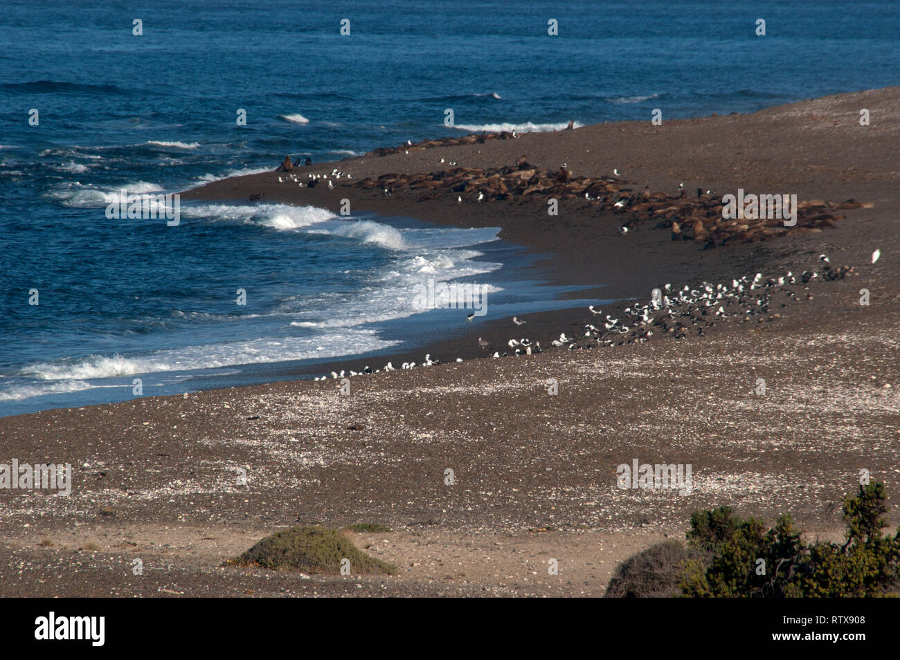 Patagonian sea lions, Otaria byronia, rest at Punta Nova beach, Valdes Peninsula, Chubut, Patagonia Argentina Stock Photo