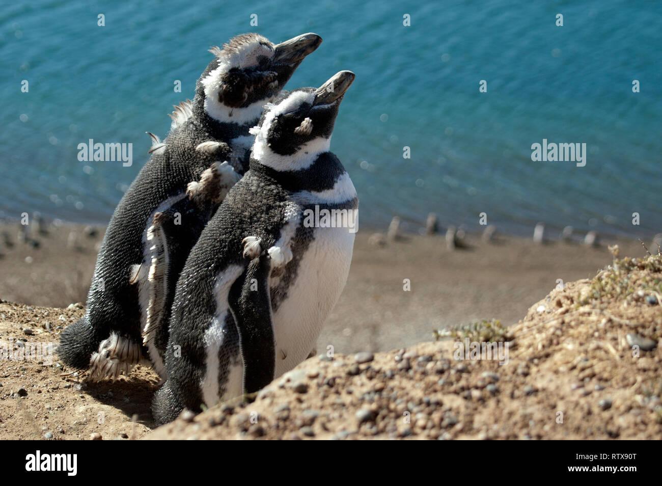 Magellanic Penguins, Spheniscus magellanicus, San Lorenzo Pinguinera, Valdes Peninsula, Chubut, Patagonia Argentina Stock Photo