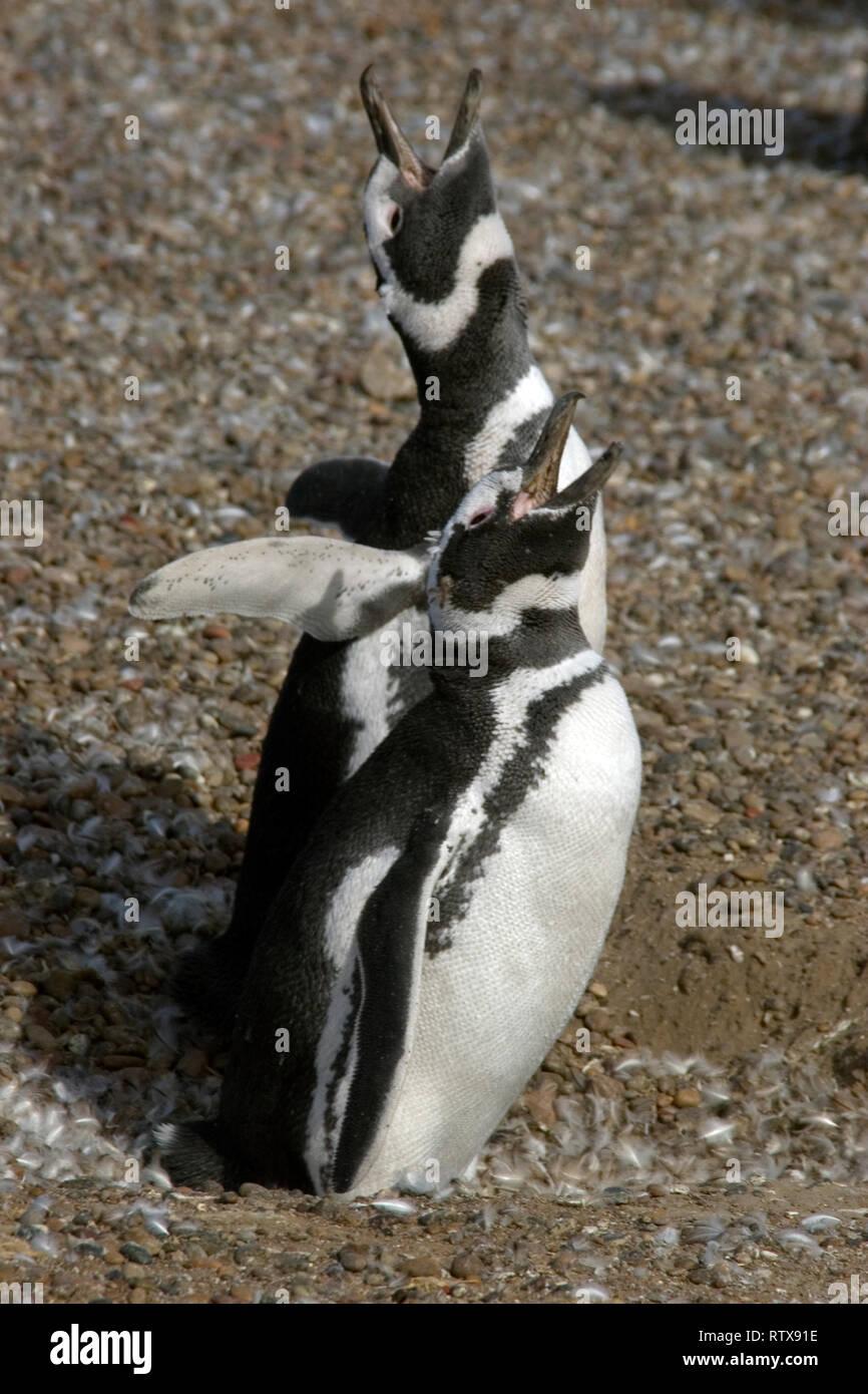 Magellanic Penguin, Spheniscus magellanicus, vocalizing, Pinguinera Punta Tombo, Rawson, Chubut, Patagonia Argentina Stock Photo