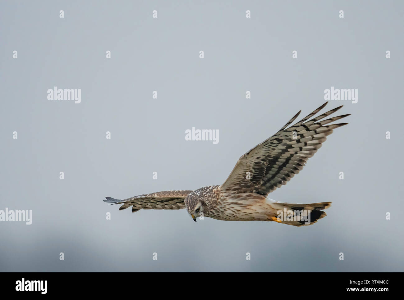 Female Hen harrier(Circus cyaneus) in flight and hunting over a stretch of Norfolk farmland. Stock Photo