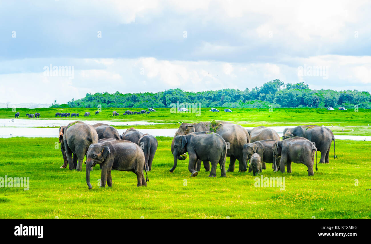 View on Herd of elephants in Kaudulla national park, Sri Lanka Stock Photo