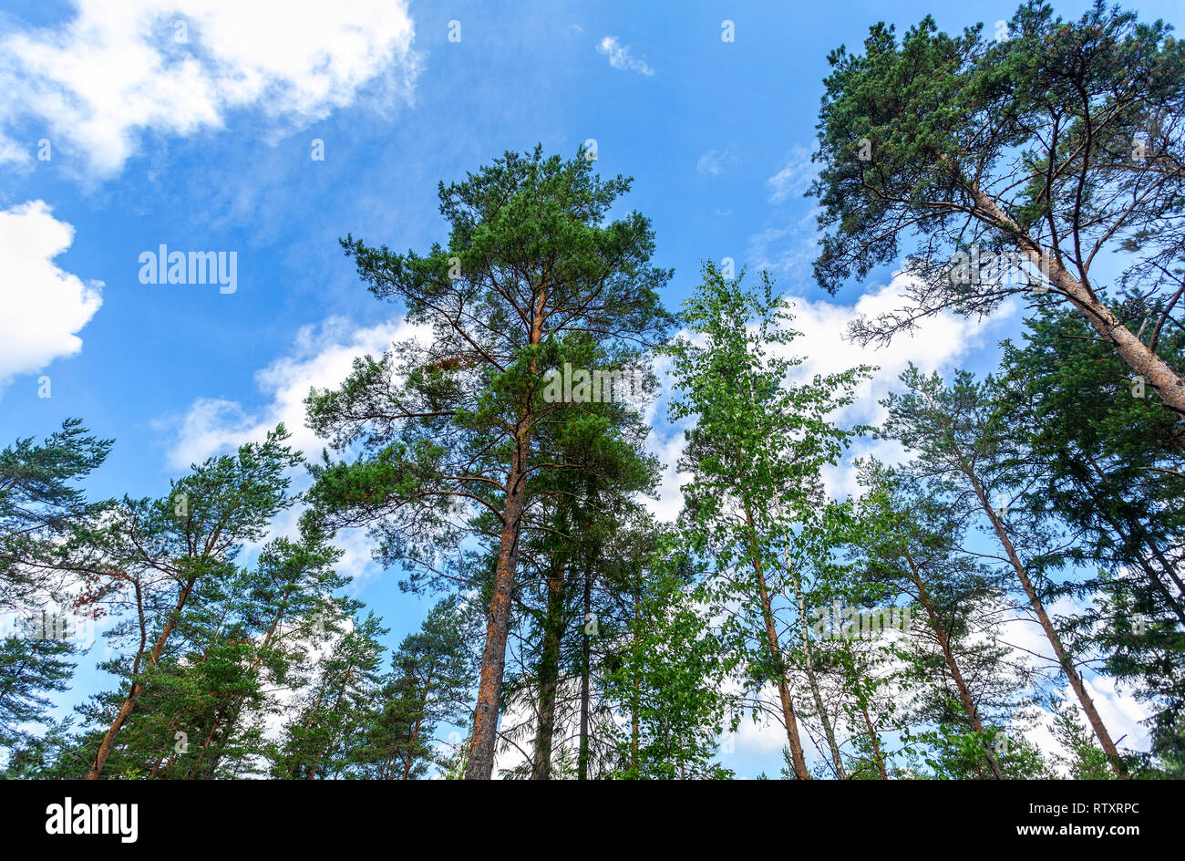 Crowns of tall pine trees in the forest against a blue sky in sunny day Stock Photo