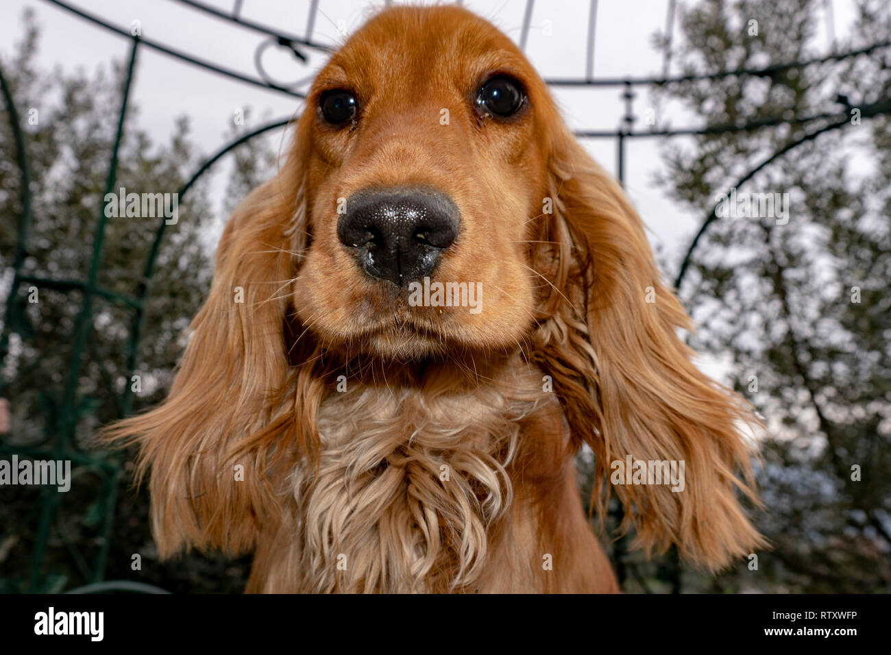 Adorable Baby Puppy Dog Cocker Spaniel Portrait Looking At You In The Courtyard Stock Photo Alamy