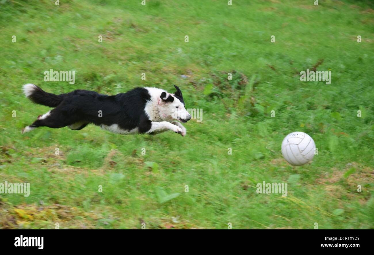 A playing black and white dog running after a ball. - Stock Image
