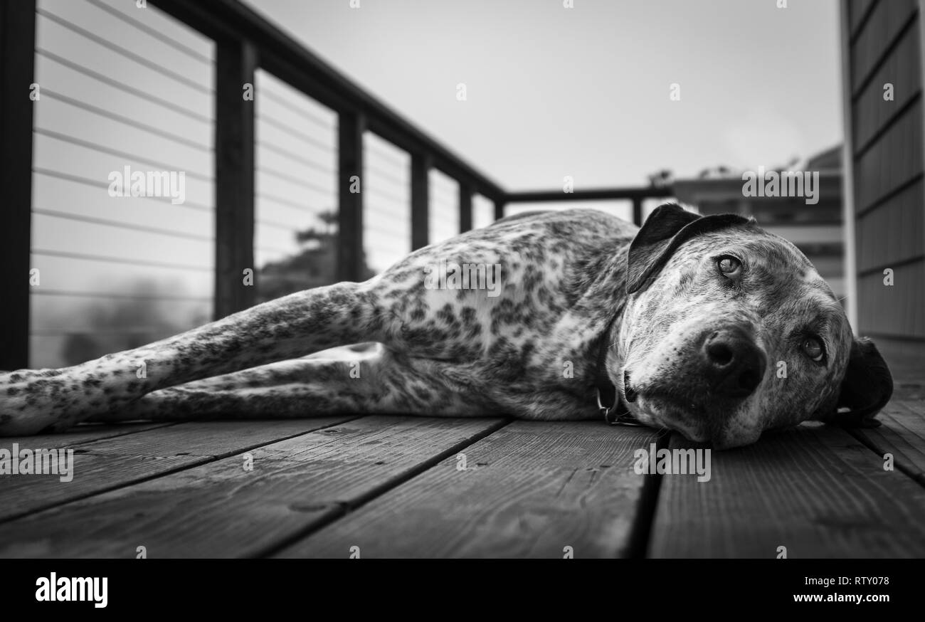 A close up of a large snoozing dog on a wooden deck, in black and white, the leading lines of the deck pointing the nose of the dog - Stock Image