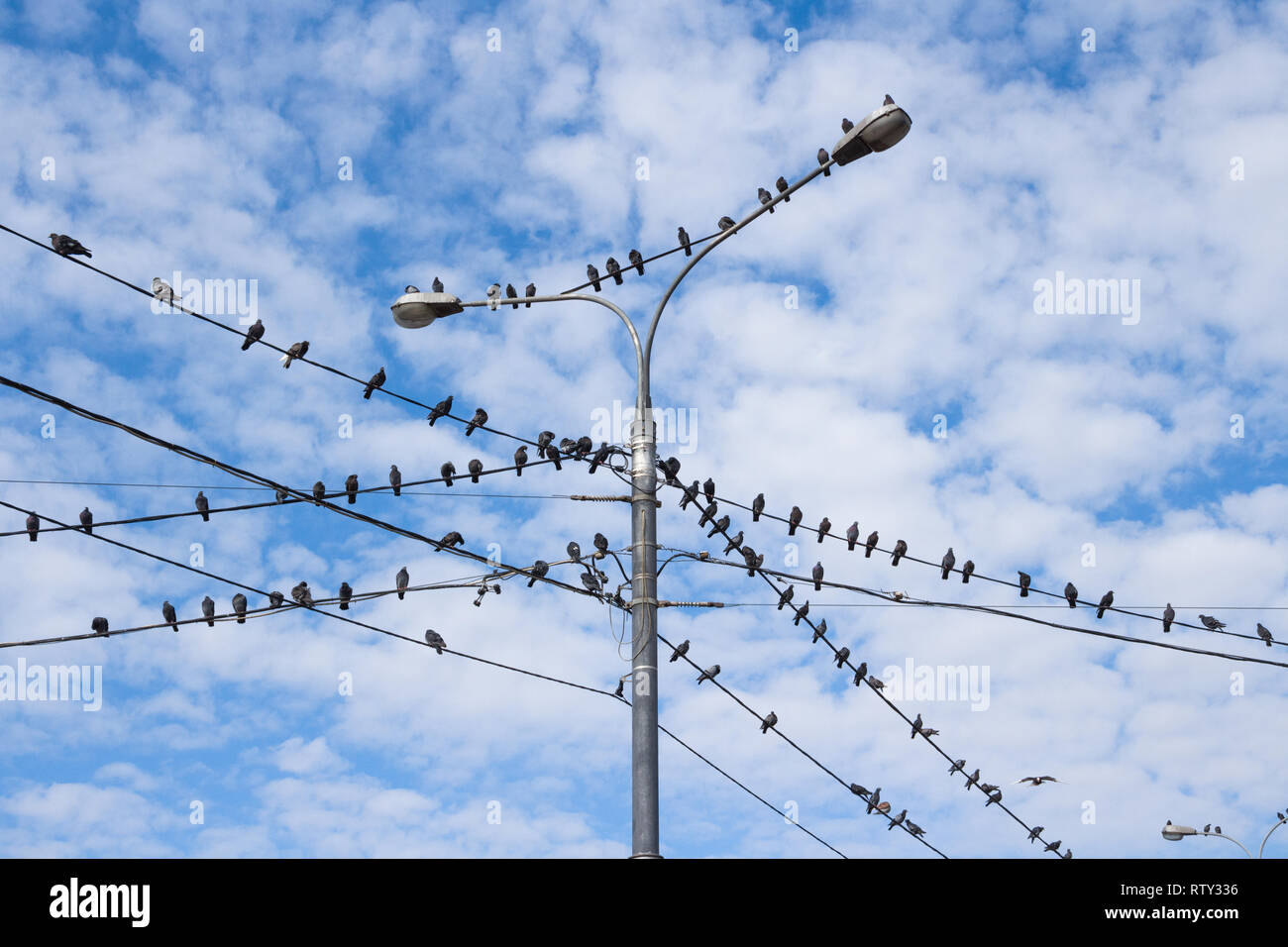 Pigeons on electric concrete pole and street lamp  Group of