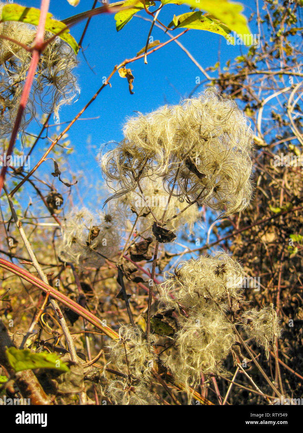 Late October Clematis vitalba, Old man's beard or Traveller's joy fruits against a clear blue sky - Stock Image
